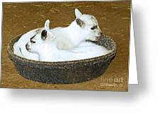 Baby Goats Lying In Food Pan Greeting Card