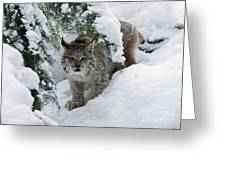 Baby Lynx Hiding In A Snowy Pine Forest Greeting Card