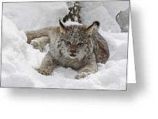 Baby Lynx In A Winter Snow Storm Greeting Card