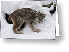 Baby Lynx Staying Close To Its Winter Den Greeting Card