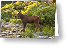 Baby Moose Baxter State Park Greeting Card