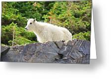 Baby Mountain Goat Greeting Card