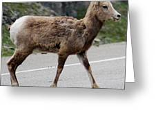 Baby Mountan Goat Crossing Road Greeting Card