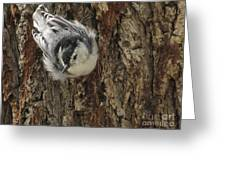 Baby Nuthatch Greeting Card