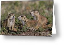 Baby Prairie Dogs Greeting Card