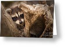 Baby Raccoon Greeting Card
