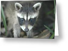 Baby Racoon Greeting Card