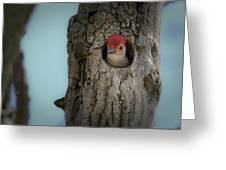 Baby Red Bellied Woodpecker Greeting Card