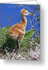Baby Sandhill Crane 064  Greeting Card