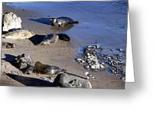 Baby Seals Greeting Card
