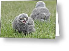 Baby Snowy Owls Greeting Card
