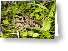 Baby Woodcock Greeting Card by Thomas Pettengill