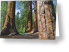 Bachelor And Three Graces In Mariposa Grove In Yosemite National Park-california Greeting Card