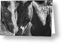 Bachelor Stallions - Pryor Mustangs - Bw Greeting Card