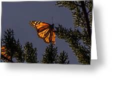 Back Lit Monarch Greeting Card