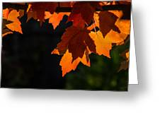 Backlit Autumn Maple Leaves Greeting Card