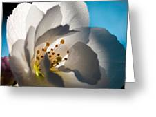 Backlit Cherry Blossom Greeting Card