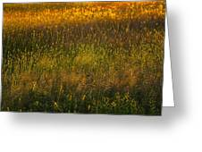 Backlit Meadow Grasses Greeting Card