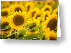 Backlit Sunflower Greeting Card