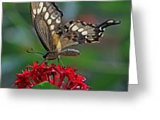 Backlit Swallowtail Greeting Card