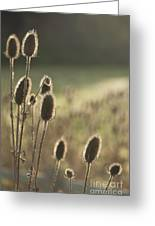 Backlit Teasel Greeting Card