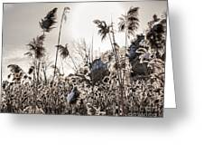 Backlit Winter Reeds Greeting Card