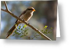 Backlit Yellow Billed Shrike Greeting Card