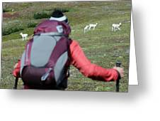 Backpacker Watches Dall Sheep Greeting Card