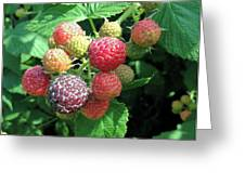 Fruit- Black Raspberries - Luther Fine Art Greeting Card