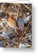 Backyard Birds Female Nothern Cardinal Greeting Card