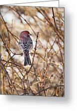 Backyard Birds Male House Finch Greeting Card