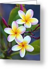 Backyard Plumeria Greeting Card