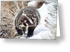 Badger In The Snow Greeting Card
