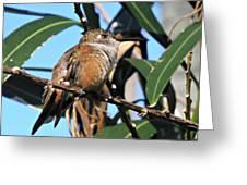 Bahama Woodstar Hummingbird Greeting Card