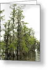 Bald Cypress - Axodium Distichum Greeting Card