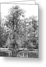 Bald Cypress Swamp In Black And White Greeting Card