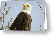 Bald Eagle-c Greeting Card