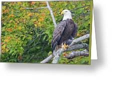 Bald Eagle In Fall Colors Animals Greeting Card