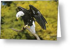 Bald Eagle In Perch Wildlife Rescue Greeting Card