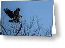 Bald Eagle Juvenile Landing In Tree Top Greeting Card