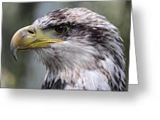 Bald Eagle - Juvenile - Profile Greeting Card