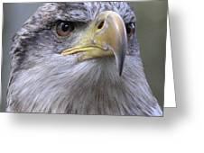 Bald Eagle - Juvenile Greeting Card