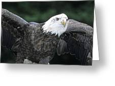 Bald Eagle Landing On Prey Greeting Card