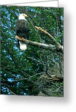 Bald Eagle Poses Greeting Card