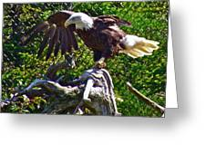 Bald Eagle With A Broken Wing In Salmonier Nature Park-nl Greeting Card