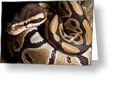 Ball Python Python Regius Greeting Card