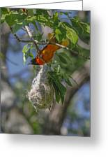 Baltimore Oriole And Nest Greeting Card