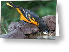 Baltimore Oriole Drinking Greeting Card
