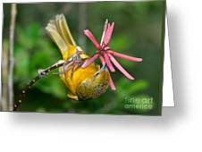 Baltimore Oriole Feeding On Coral Bean Greeting Card