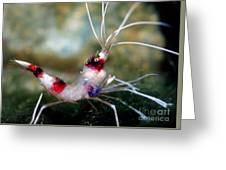 Banded Coral Shrimp Greeting Card